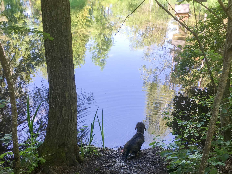 C-Wurf vom Kreuzlinger Forst Rauhaardackel Bayern
